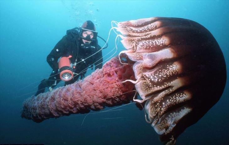 実在した巨大生物・クラゲ