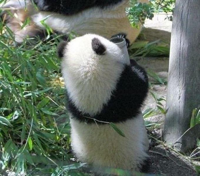 かわいいパンダ0