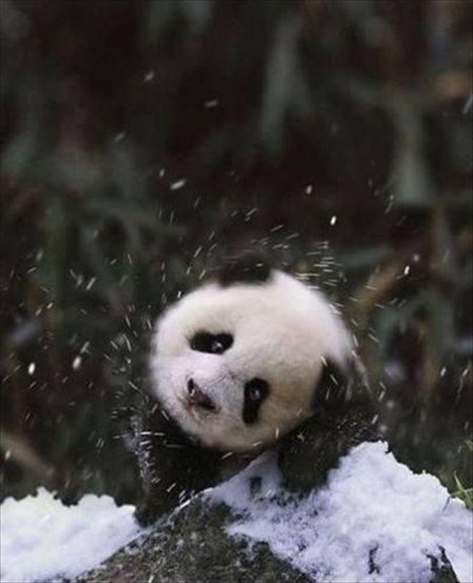 かわいいパンダ1