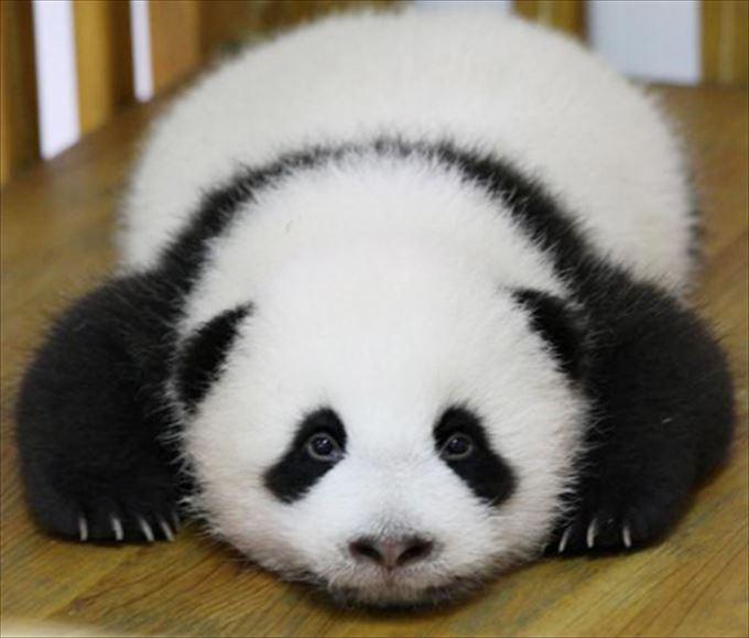 かわいいパンダ10