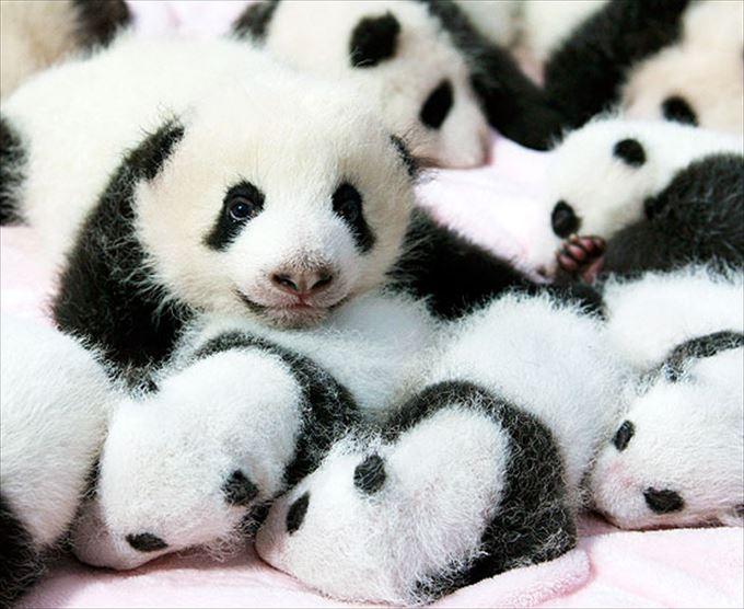 かわいいパンダ14