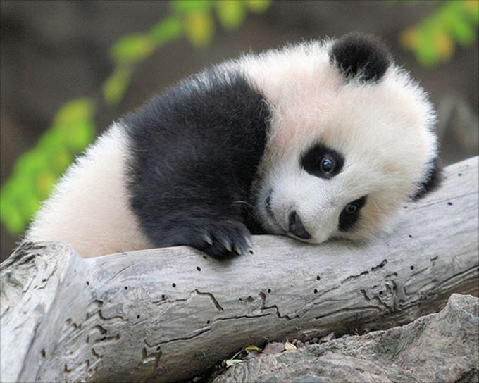 かわいいパンダ16