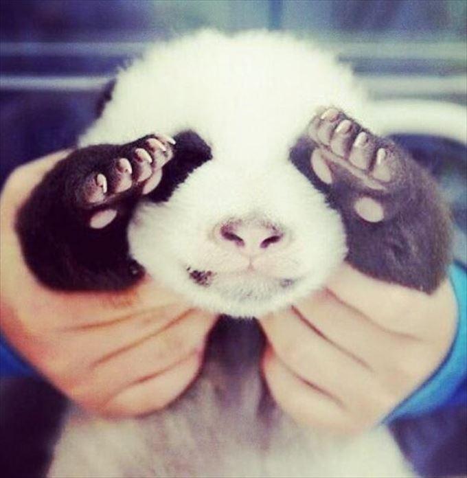 かわいいパンダ19