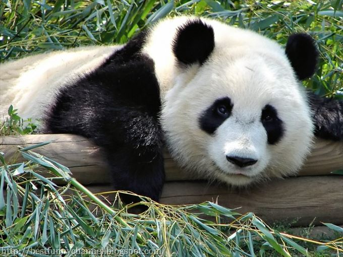 かわいいパンダ25