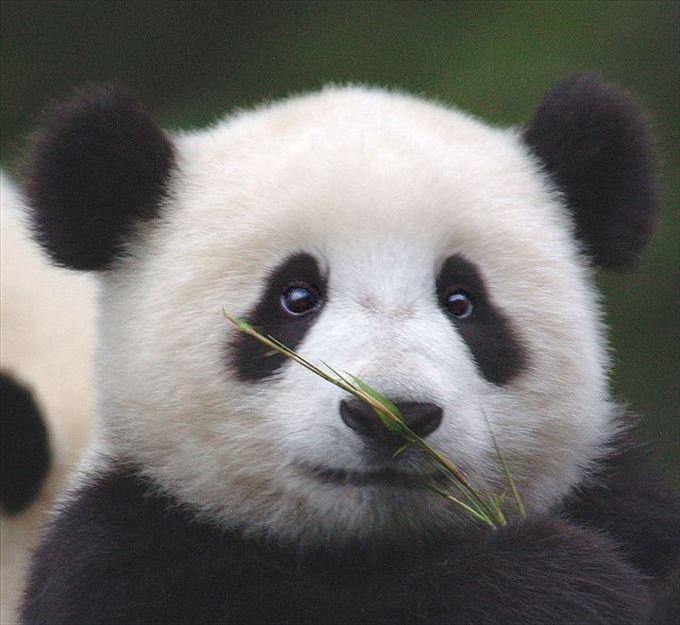 かわいいパンダ28