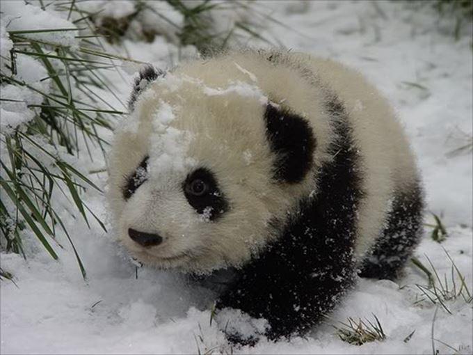 かわいいパンダ29