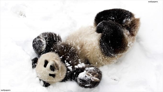 かわいいパンダ3