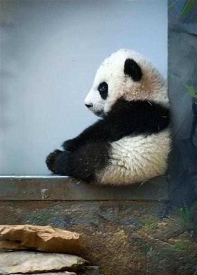 かわいいパンダ31