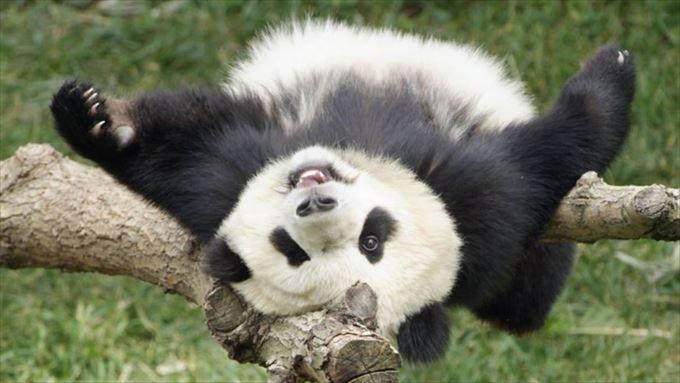 かわいいパンダ34