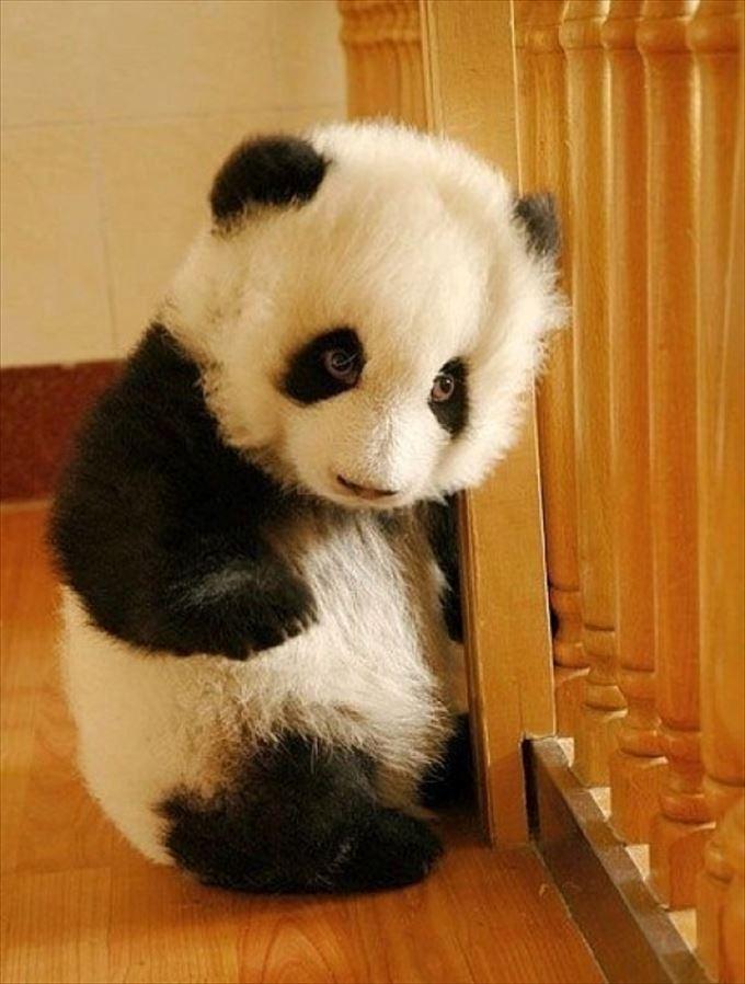 かわいいパンダ35