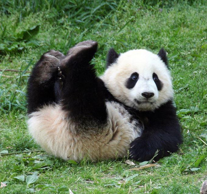 かわいいパンダ37