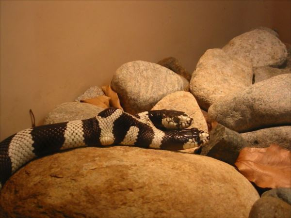Two_Headed_Snake-1024x768