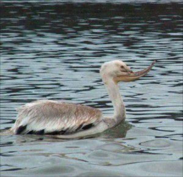 White-Pelican-photo-by-Julie-Steciw1-300x291