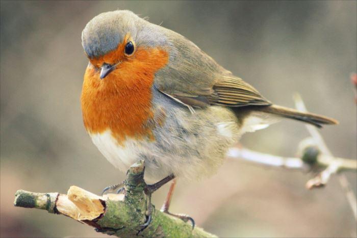 かわいい鳥 19.0