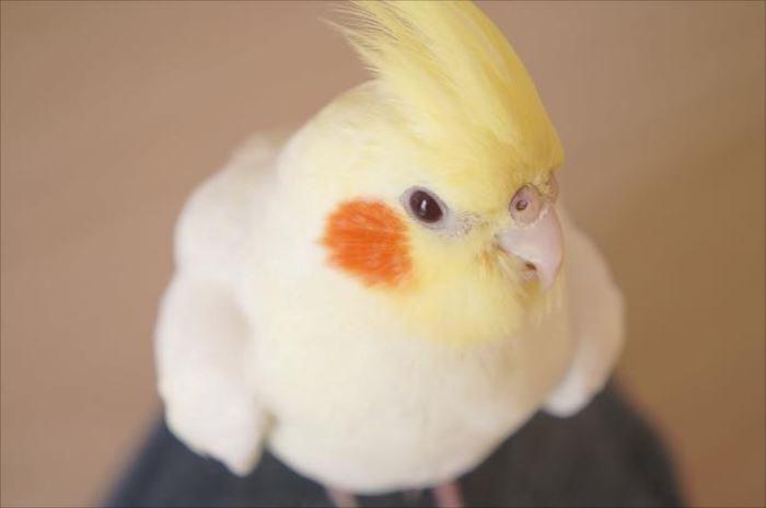 かわいい鳥 26.0