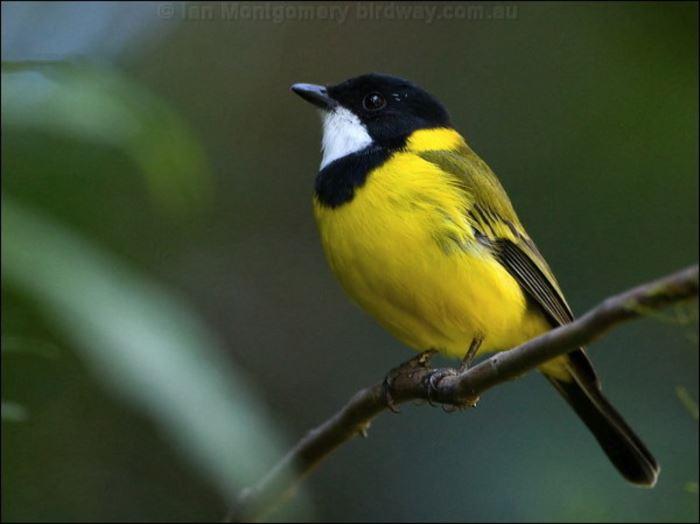 かわいい鳥 33.0