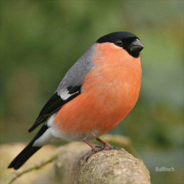 かわいい鳥 35.0
