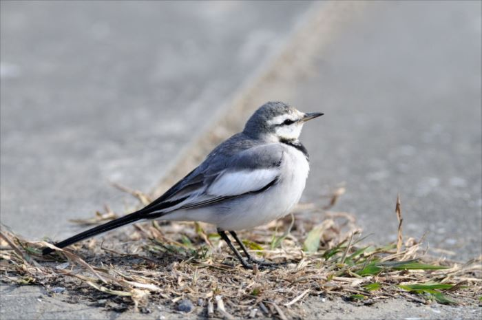 かわいい鳥 36.0