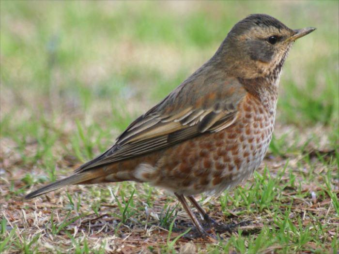 かわいい鳥 37.0