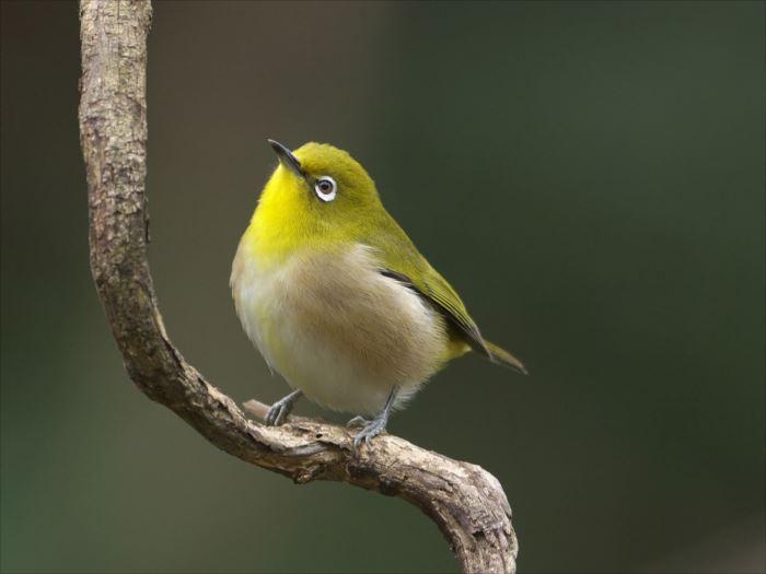 かわいい鳥 39.0