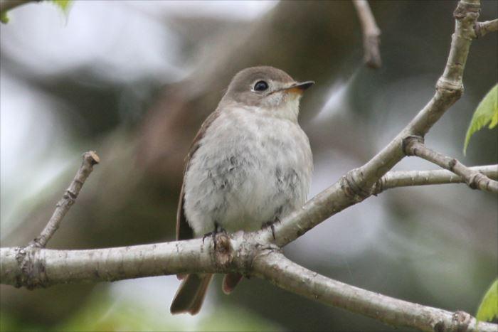 かわいい鳥 47.0