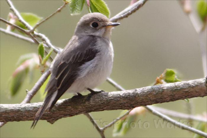 かわいい鳥 47.1