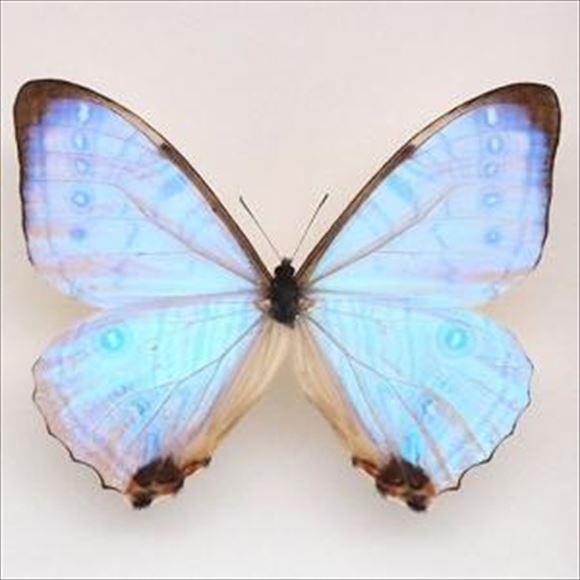 美しい蝶 10.0