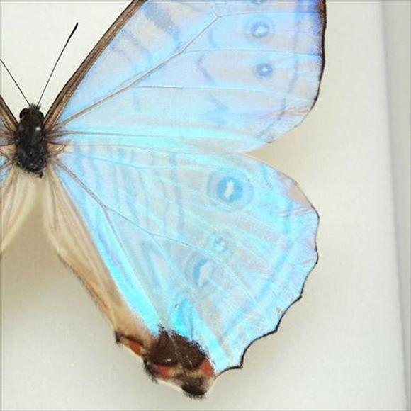 美しい蝶 10.1