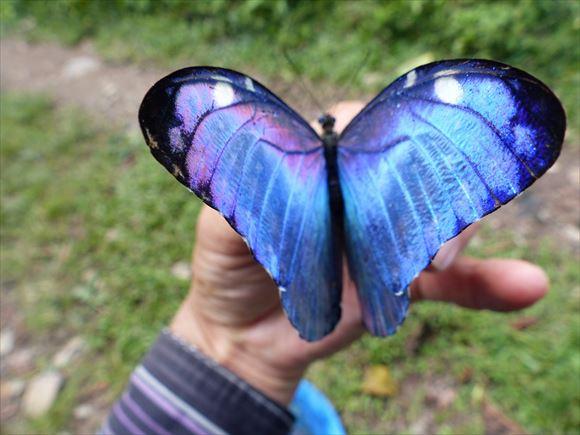 美しい蝶 11.1