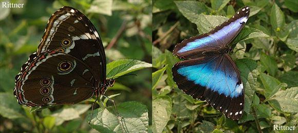 美しい蝶 13.1