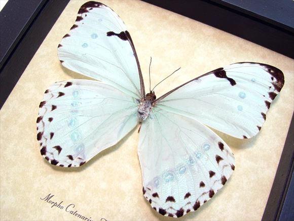 美しい蝶 15.0