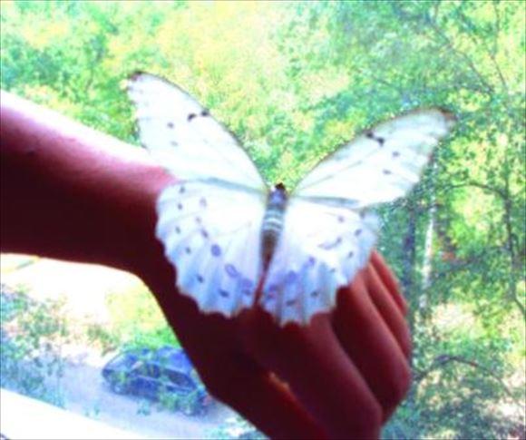 美しい蝶 15.1