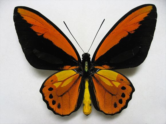 美しい蝶 16.1