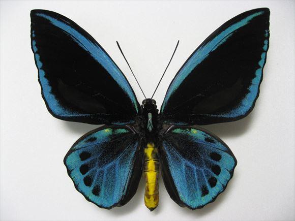 美しい蝶 16.2