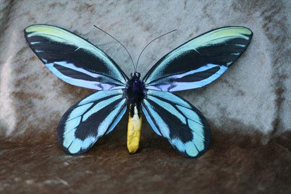 美しい蝶 17.0