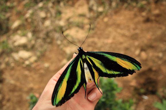 美しい蝶 21.0