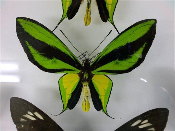 美しい蝶 21.1