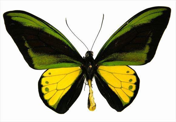 美しい蝶 22.0