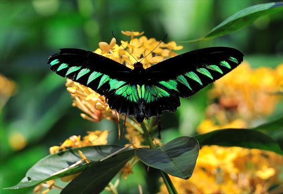 美しい蝶 23.0