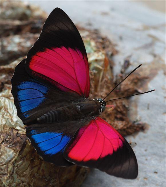 美しい蝶 4.1