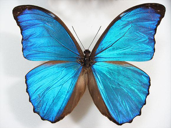 美しい蝶 6.0