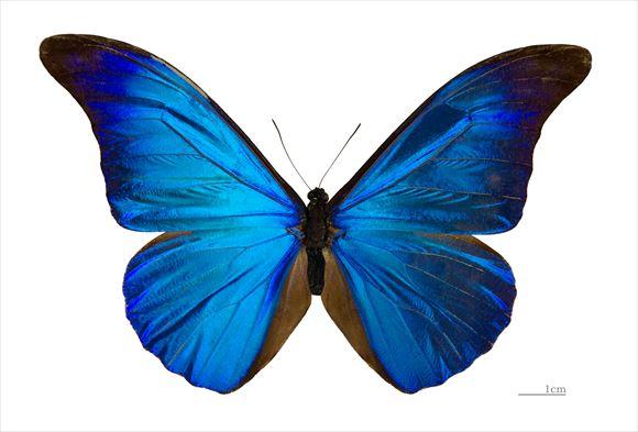 美しい蝶 7.0