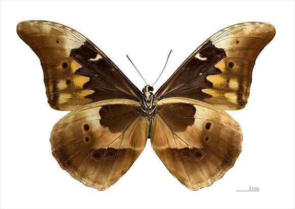 美しい蝶 7.1