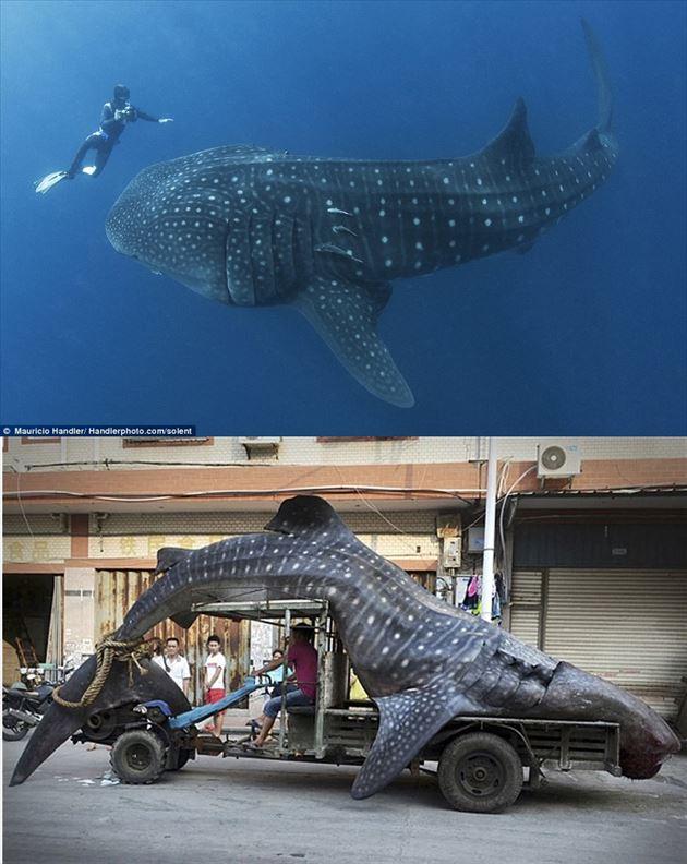 巨大魚 23.0