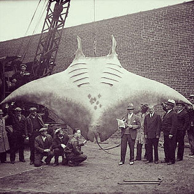 巨大魚 31.1