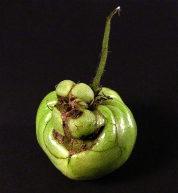 奇形野菜 24