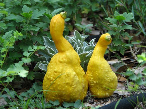 奇形野菜 37