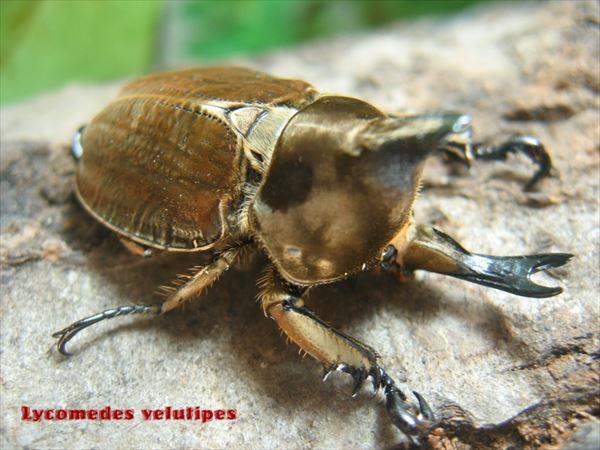 カブトムシ種類 10