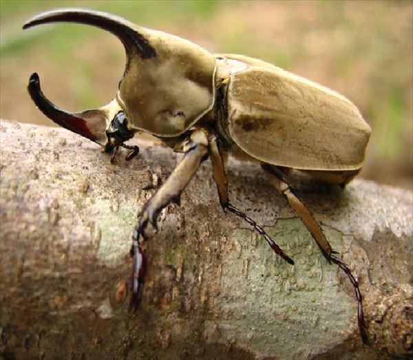 カブトムシ種類 12
