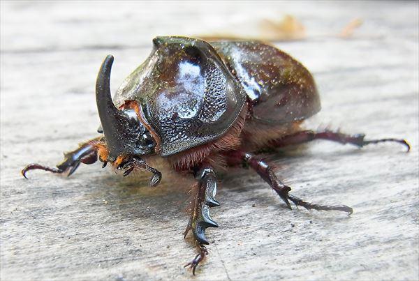 カブトムシ種類 17